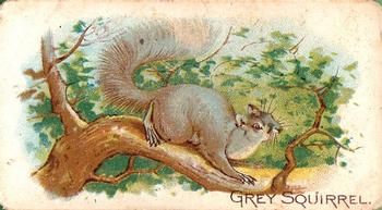 1909 Philadelphia Caramel Zoo #NNO Gray Squirrel Front